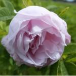 Dagmar Hastrup, pastelll-rosa Blüte, max. 100 cm groß, 50 cm breit werdend.