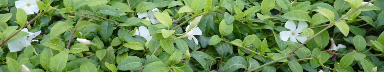 Vinca Minor, weißes Immergrün
