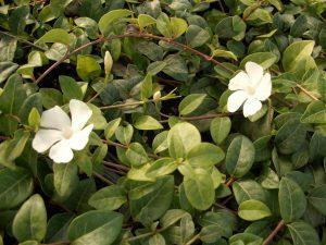 Vinca minor alba - weißes Immergrün