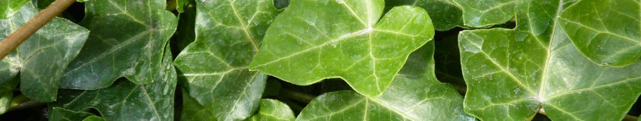 Irischer Efeu, Hedere Helix Hibernica