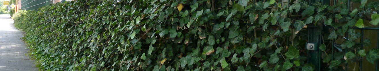 Efeu - Hedera Helix als Rankpflanze