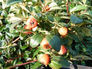cotoneaster radicans fruechte
