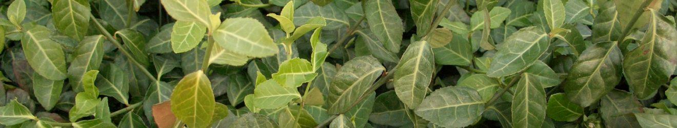 Purpur-Kriechspindel