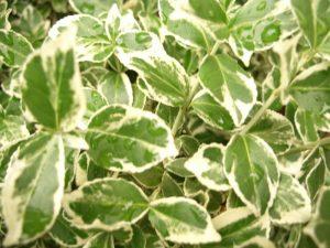 Weißbunte Kriechspindel, Euonymus fortunei 'Emerald Gaiety'