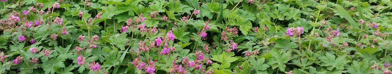Balkan Storschnabel mit Blüte
