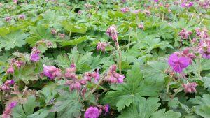 Geranium - Balkan Storschnabel mit Blüte