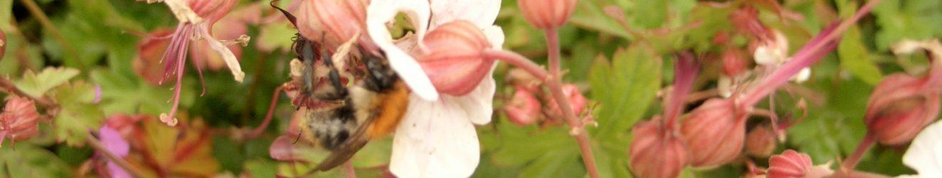 Geranium Spessart Blüte