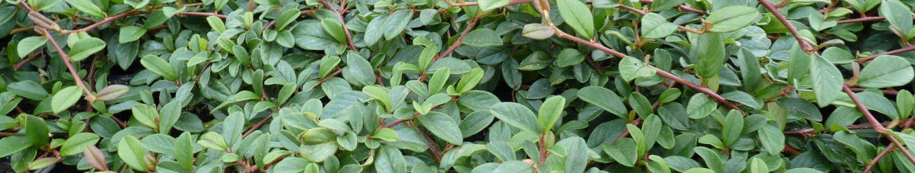 Cotoneaster Laub