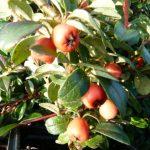 Cotoneaster mit roten Beeren