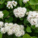Weiße Blüte vom Birkenblättrigen Spierstrauch
