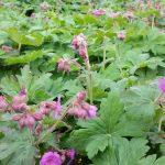 Blühender Storchschnabel Geranium macrorrhizom